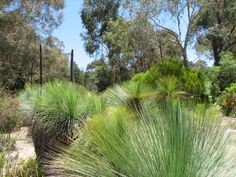 Australian Grass Trees, the Xanthorrhoea species.