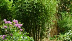 "Fargesia robusta ""Pingwu"" -  Green Screen umbrella bamboo (Fargesia robusta ""Pingwu"") grows to around 18 feet in USDA zones 6 through 9. Shade tollerant."