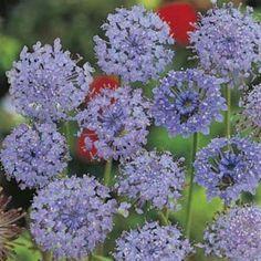 Australian Wildflower Blue Rottnest Island Daisy - seed