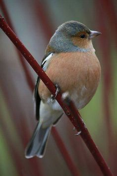 Male Chaffinch - can be heard and see at The Tranquil Otter, and you can also stay in our lodge named after this local beauty. Pretty Birds, Love Birds, Beautiful Birds, Animals Beautiful, Cute Animals, Chaffinch, World Birds, Winter Art, Colorful Birds