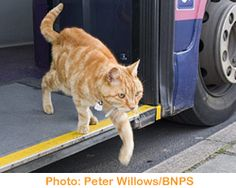 Dodger, a beautiful orange tabby, regularly boards the bus at the stop near his house and takes a 10-mile round trip!