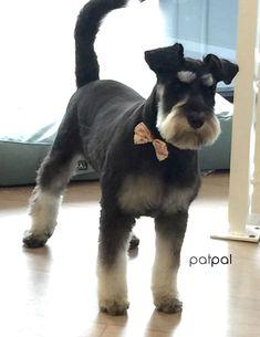 Miniature schnauzer at PatPal dog grooming, Willoughby, Sydney  www.patpaldoggrooming.com #doggrooming #miniatureschnauzer