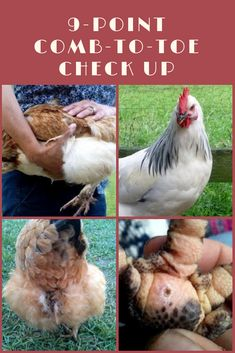 thorough 'comb to toe' checkup of each chicken every other week or so can help nip any potential problems in the bud before they become real problems. Get tips on how to perform regular checkups and what you should keep an eye out for. Chicken Garden, Best Chicken Coop, Backyard Chicken Coops, Chicken Coop Plans, Building A Chicken Coop, Chicken Runs, Chicken Tractors, City Chicken, Chicken Houses