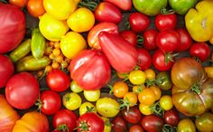 There are over 7000 varieties of cultivated tomatoes, but there is little genetic variation between them. Image: Robert Kneschke/Shutterstock
