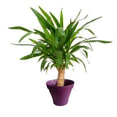 Yucca 1 tronc avec cache pot violet