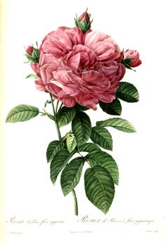 Redouté, Rosa_gallica_flore_giganteo_brighter-1000px