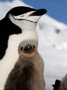 Adult and Juvenile Chinstrap Penguins, Half Moon Bay, Antarctica, January 2007 Photographic Print by Rick Tomlinson at Art.com