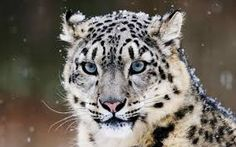 snow tiger - Google Search