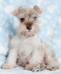 Adorable Mini Schnauzer Puppy <3