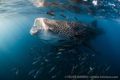 Swimming with whale sharks in La Paz. Baja Caifornia. Mexico.