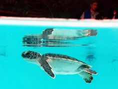 Sea Turtle in Xcaret   Via @Kelly McLaughlin