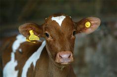 A Guernsey calf