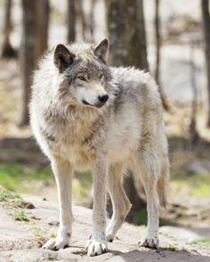 Grey Wolf bySandy Thompson
