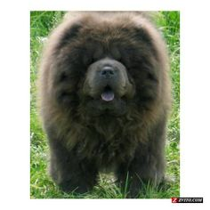 Chow Chow Animal | AKC Chow Chow Puppy - Trusted Quality - Fort Worth - Animals