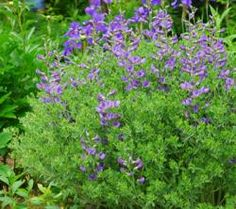 Baptisia, australis var minor. Dense mounding shrub like habit, with deep violet blue lupine like flowers held just above the foliage. 2' x 3'. Slow to establish, but long lived and worth the wait.