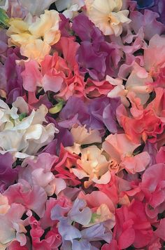 Sweet Pea buds---Sweet Peas are fragrant. 'Pastel Sunset' is a sweetly scented pastel mixture of rose-pink, cream, lavender-blue, shades of pink, peach and almond. Pretty Flowers, Wild Flowers, Sweet Pea Flowers, Pastel Flowers, Growing Sweet Peas, Sweet Pea Seeds, Pastel Sunset, Gardenias, Pink Roses