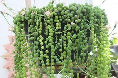 Cuidados y cultivo de la planta rosario