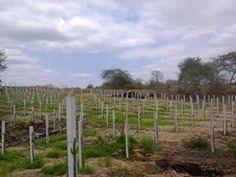 Vendo postes de cemento para sembrar pitahaya roja, de las medidas 11 cm x 11 cm x 2,40 mt de largo despachos para todo el territorio ecuatoriano mas informes al 0985747831 Juan Tabara