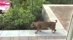 Bobcat Takes A Stroll: July 7, 2015