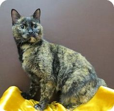 St. Louis, MO - Domestic Shorthair. Meet Shelby, a cat for adoption. www.adoptapet.com...