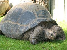 Tortue du zoo de La Palmyre | Pays Royannais Charente-Maritime Tourisme #charentemaritime | #zoo | #LaPalmyre | #animaux
