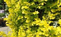 Goldulme, beschrieben in Franks Pflanzenlexikon