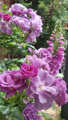 Rhapsody in Blue rose with foxgloves in my garden