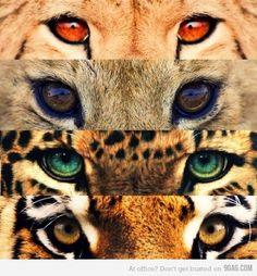 the eye of the tiger the jaguar and..