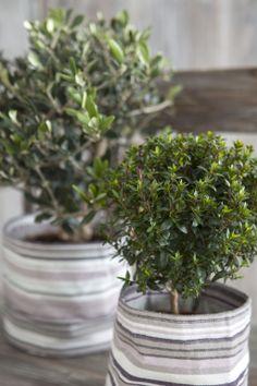 Myrt og oliventre i grow-in selvvanningspotte: http://www.mestergronn.no/blogg/grow-in-potter-i-nye-farger/