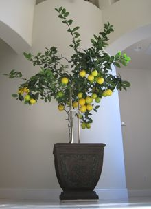 Meyer Lemon Tree - Great on a patio - such fragrant blossoms!