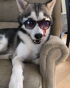 funny animals can't stop laughing ; funny animals videos can't stop laughing ; funny animals with captions ; Funny Animal Videos, Cute Funny Animals, Cute Baby Animals, Funny Cute, Animals And Pets, Videos Funny, Funny Puppies, Funny Dogs, Huskies Puppies