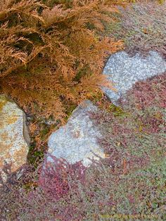 Microbiota decussata and Thymus Pseudolanuginosus (Wooly thyme) meet at the walkway; late fall