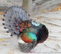 occelated Turkey from Mexico   Ocellated Turkey