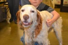 Gunner is an adoptable English Setter Dog in Davison, MI. Gunner is sweet as can be and very friendly and people oriented, and loves belly rubs. He is 4 years old, will be 5 in September. He is VERY a...