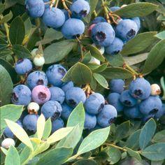 Blueberry 'Sunshine Blue': semi-evergreen dwarf