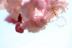 ふわり  #過去写真  #flowers #flower #flowerstagram #jp_gallery #japanfocus #gf_japan #ig_japan #jp_views2nd #igersjp #team_jp_ #ザ花部 #instaflower #instapic #global_family #picture_to_keep #はなまっぷ #東京カメラ部 #さくら #sakura #loveさくら祭り2016  #far_eastphotography #as_archive #loves_nippon #bestshotz_flowers #ptk_flowers by lovexbite