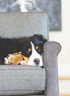 sofa surfer // bernese mountain dog