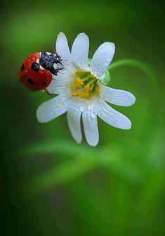 Wet ladybug & white flower.