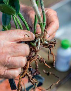 Aprendendo a Plantar Odzrquídeas