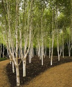 Betula utilis 'Jacquemontii' - Other Trees › Birch | Maplestone  Ornamentals The Jacquemontii Birch is known for its white bark. In fact it has the whitest bark of all the birches and it renews its color yearly by shedding outer layers of bark, which peel off in papery sheets. Accent the white bark by planting the Jacquemontii birch in front of dark evergreen foliage or by planting the birches in groups or rows. The Jacquemontii birch has yellow fall color, and it maintains its landscape…