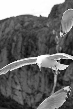 Birds 2/3 • Trollfjord, Lofoten Islands, Norway • landscape | panorama | panoramic | large format | print | original | photography | image | interior design ideas | wall decor
