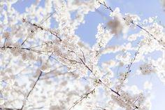 white cherry blossoms in NJ