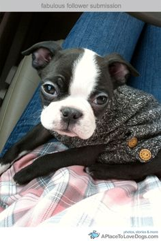 the cutest boston terrier - probably our next doggy!
