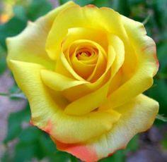 Beautiful Rose - Flowers Wallpaper ID 1741205 - Desktop Nexus Nature