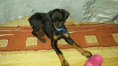 Dobermann puppy 8 weeks