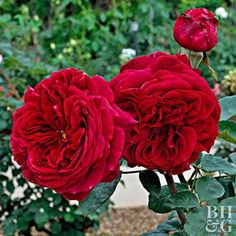 English style rose (Rosa) 'The Prince,' produces cupped rosettes of deep crimson that darken to dusky purple w/a strong antique rose fragrance, repeated blooming, full sun, 2 tall/wide. Best Smelling Flowers, Sweet Autumn Clematis, Lilac Tree, Oriental Lily, English Roses, Garden Plants, Flowers Garden, Garden Beds, Beautiful Flowers