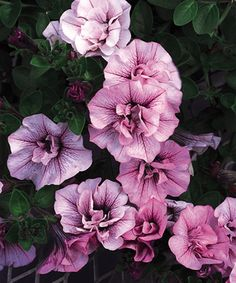 "Petunia- one of my favorite flowers, and nickname for my niece, ""My Lil' Petunia"""