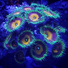 Beautiful from #ReefPro @st0neybologna!  #polyplab . . . #coral #reeftank #coralreeftank #reef #reefpack #reef2reef #reefcandy #reefersdaily #reefrEVOLution #coralreef #coraladdict #reefaholiks #reefjunkie #reeflife #instareef  #allmymoneygoestocoral #instareef  #reefpackworldwide #ilovemyreef #rarecorals #reefing #exoticcorals #reefporn #reeferdise #reefers4reefers #coralporn #aquarium #polyplab