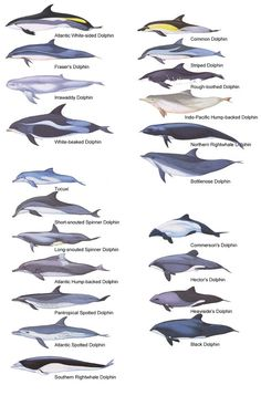 The family Delphinidae is the largest in the Cetacean order, and evolved relatively recently, about ten million years ago. There are almost forty species of dolphin in 17 genera all varying in size and shape. @SeaShepherd #defendconserveprotect