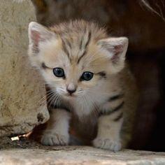 Israeli sand cat